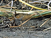 King Rail - photo by Phil Swanson