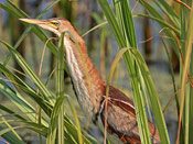 Least Bittern - photo by Phil Swanson