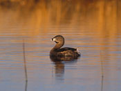 Pied-billed Grebe - NEBRASKAland Magazine/Nebraska Game and Parks Commission