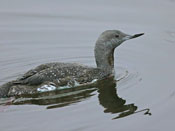 juvenile Red-throated Loon - photo by Phil Swanson
