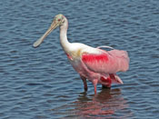 Roseate Spoonbill - photo by Phil Swanson