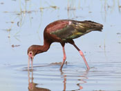 White-faced Ibis - photo by Phil Swanson