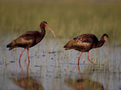 White-faced Ibis -- NEBRASKAland Magazine/Nebraska Game and Parks Commission