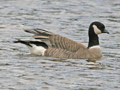 Cackling Goose - photo by Phil Swanson