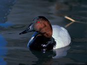 male Canvasback - NEBRASKAland Magazine/Nebraska Game and Parks Commission