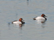 Canvasback - photo by Phil Swanson