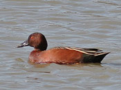 Cinnamon Teal - photo by Phil Swanson