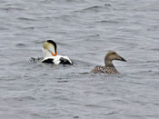 Common Eider pair - photo by Phil Swanson