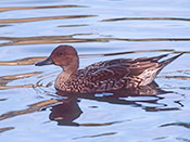 female Eurasian Wigeon - photo by Phil Swanson