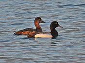 pair Greater Scaup - photo by Phil Swanson