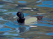 male Greater Scaup - photo by Phil Swanson