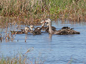 Mottled Duck with chicks - photo by Phil Swanson