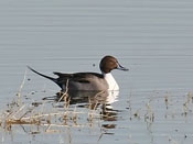 Northern Pintail - photo by Phil Swanson