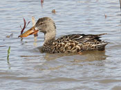 female Northern Shoveler - photo by Phil Swanson