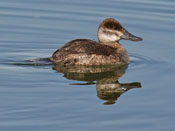 female Ruddy Duck - photo by Phil Swanson