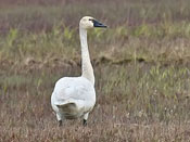 Tundra Swan - photo by Phil Swanson