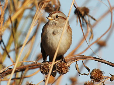 American Tree Sparrow photo by Phil Swanson