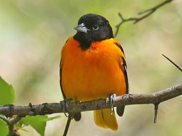 songbirds_baltimore-oriole
