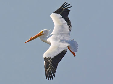American White Pelican photo by Phil Swanson