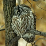 Boreal Owl - photo by Phil Swanson