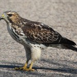 Broad-winged Hawk - photo by Phil Swanson
