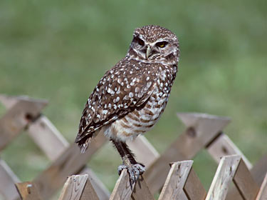 Burrowing Owl - photo by Phil Swanson