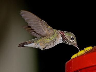 Calliope Hummingbird - Phil Swanson photo