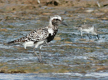 Black-bellied Plover - photo by Phil Swanson