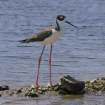 Black-necked Stilt - photo by Phil Swanson