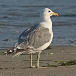 California Gull - photo by Phil Swanson