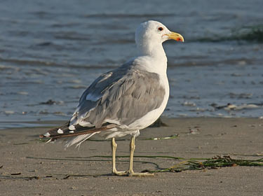 California Gull - photo by Phil Swanson