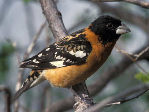 Black-headed Grosbeak - photo by Phil Swanson