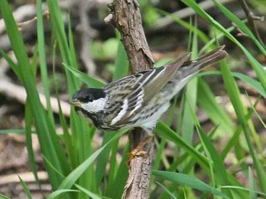 Blackpoll Warbler