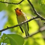 Blackburnian Warbler - photo by Phil Swanson