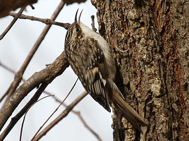 Brown Creeper- photo by Phil Swanson