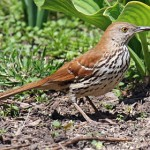 Brown Thrasher- photo by Phil Swanson
