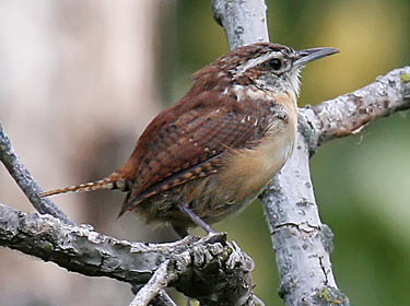 Carolina Wren - photo by Phil Swanson