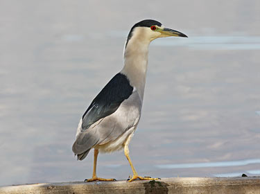 Black-crowned Night-Heron - photo by Phil Swanson