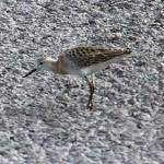 shorebirds_ruff1