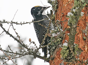 Three-toed Woodpecker