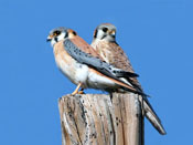American Kestrel - photo by Phil Swanson