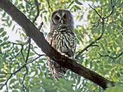 Barred Owl - photo by Phil Swanson
