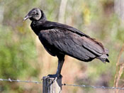 Black Vulture - photo by Phil Swanson