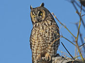 Long-eared Owl - photo by Phil Swanson