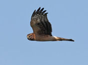Northern Harrier - photo by Phil Swanson
