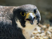Peregrine Falcon - NEBRASKAland Magazine/Nebraska Game and Parks Commission