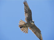 Peregrine Falcon - NEBRASKAland Magazine/Nebraska Game and Parks Commission.