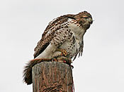 Red-tailed Hawk - photo by Phil Swanson