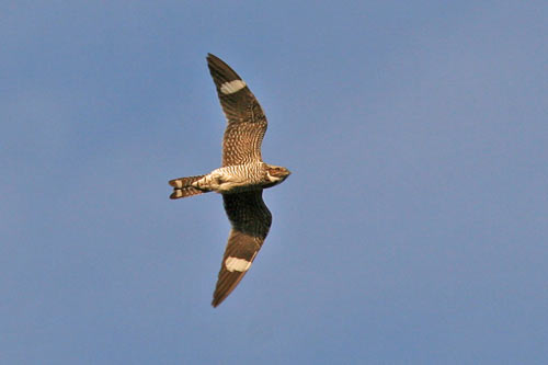 Common Nighthawk - photo by Phil Swanson