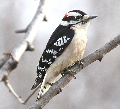 male Downy Woodpecker - photo by Phil Swanson